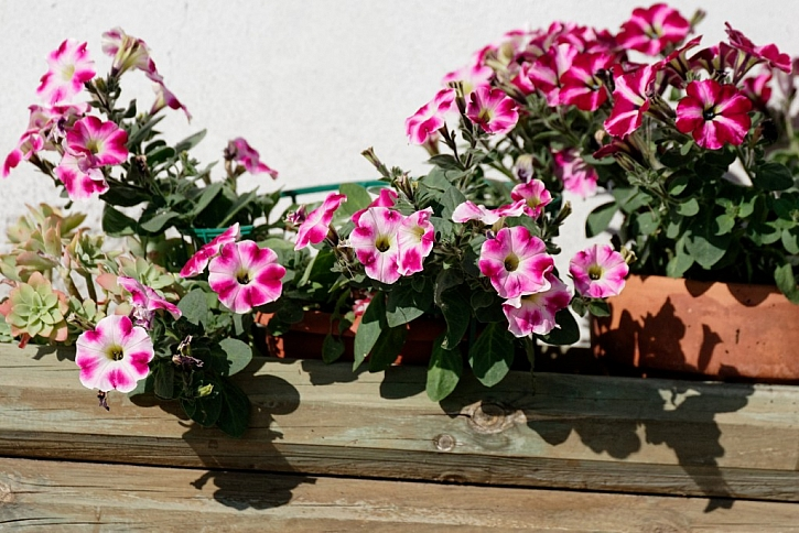Petunie uvítají substrát pro balkonové květiny