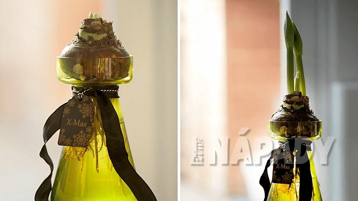 Hvězdník (Hippeastrum): cibule můžete vložit do skleněných váz a pěstovat bez zeminy