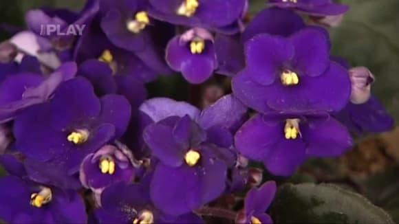 Jak pěstovat fialky