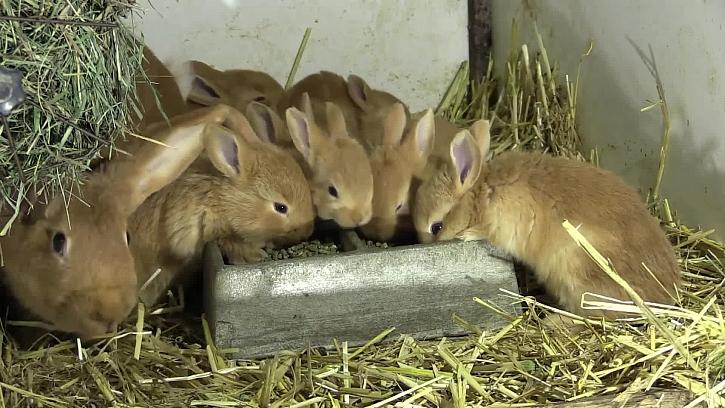 Jak chovat králíky, aby se jim dařilo