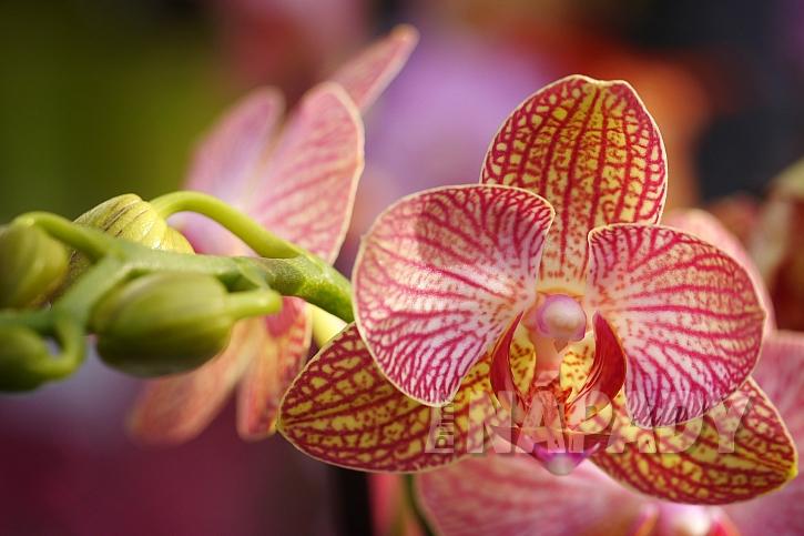Orchidej prosí o slitování