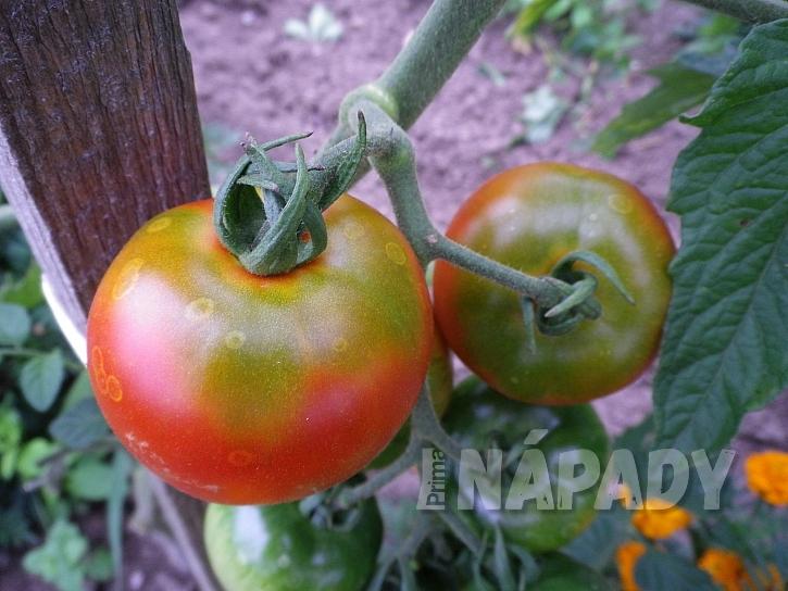 Zelený límec na rajčatech