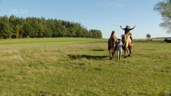 Chov velbloudů? Jsou lepší než koně