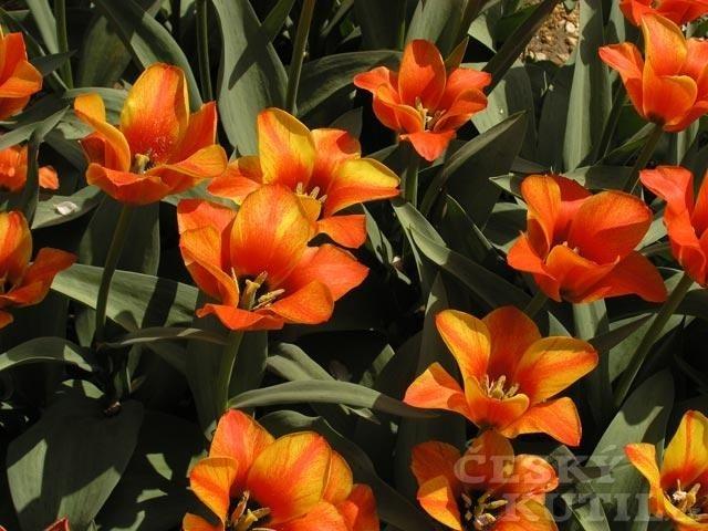 Tulipán Greigův