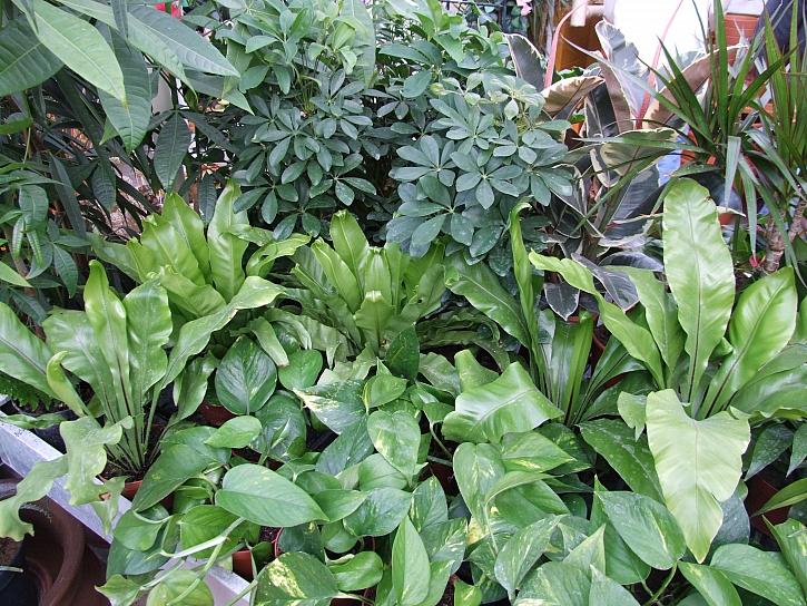 Pokojové rostliny potřebují naši péči i v zimě (Zdroj: Ludmila Dušková)