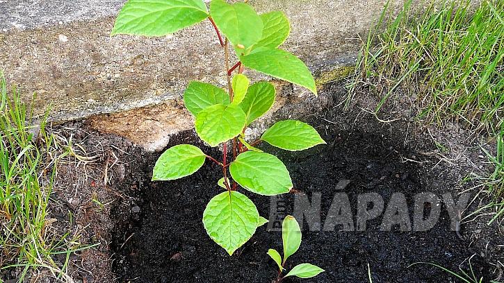 Jak pěstovat bylinu mládí, svěžesti a dlouhověkosti 4