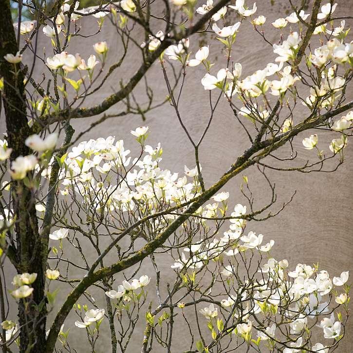Dřín květnatý v plném květu