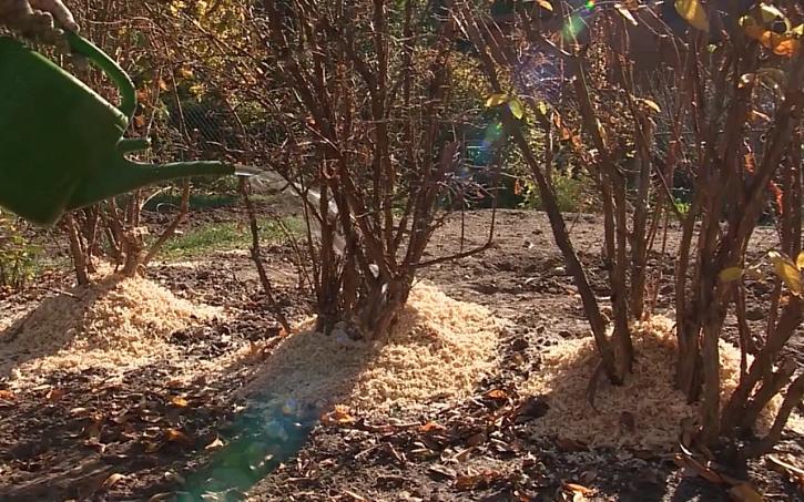 U borůvek je k přihrnutí vhodné využití pilin a hoblin. Nezapomeneme všechny přezimují druhy na zimu zalít.