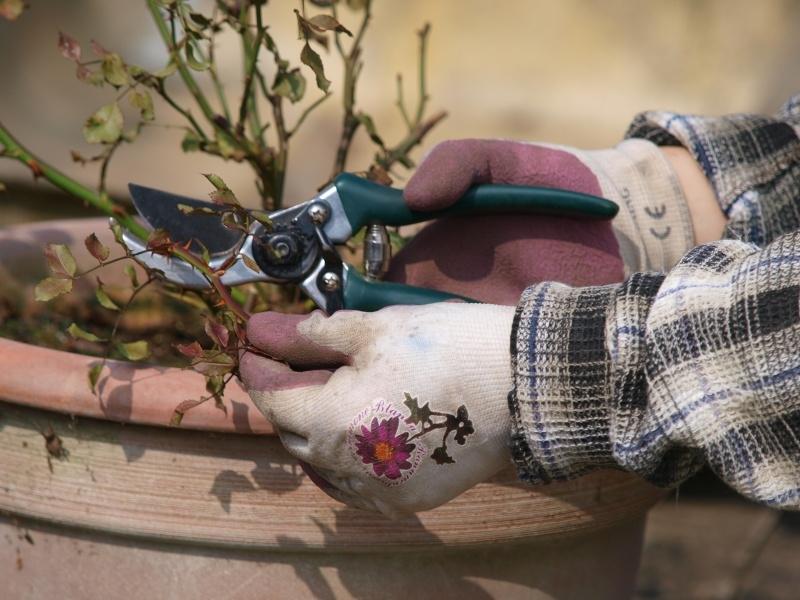 Růže na balkoně: Na jaře nejvíc ocení dokonalý sestřih