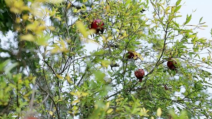 Jak pěstovat granátová jablka