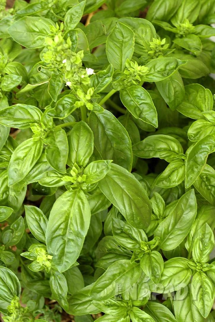 oblibena salatova bylina - bazalka