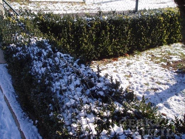Stálezelené dřeviny – specifická péče v zimním období