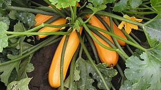 Moderní zelenina: Proč, jak a kdy se pustit do pěstování cuket?