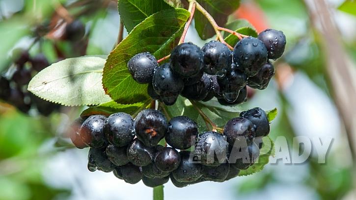 Plody aronie neboli černé jeřabiny patří k ceněným léčivkám