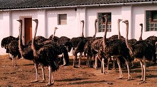 Pštros dvouprstý, emu hnědý a nandu pampový: Faremní chov běžců