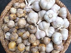 Je čas na výsadbu konzumního i okrasného česneku