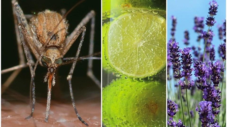 Když vám komáři pijí krev, zničte je domácími repelenty