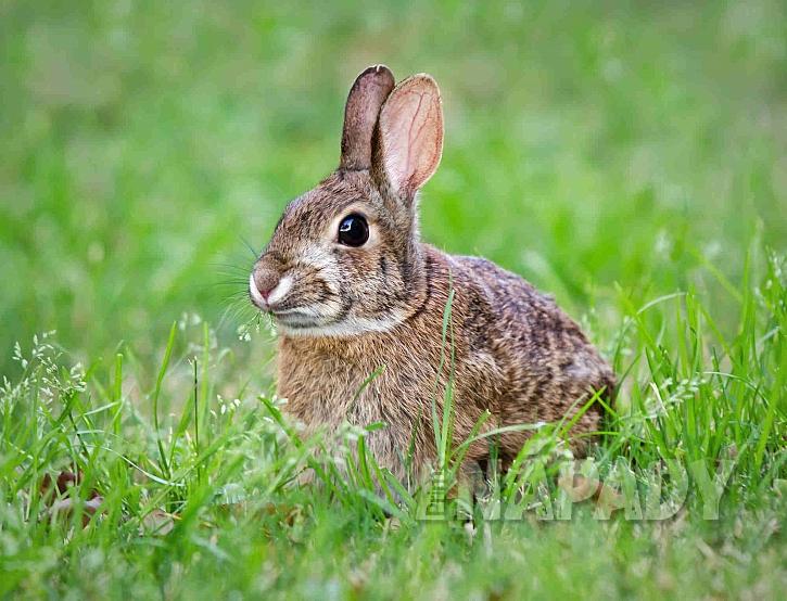 Zajíc v trávě