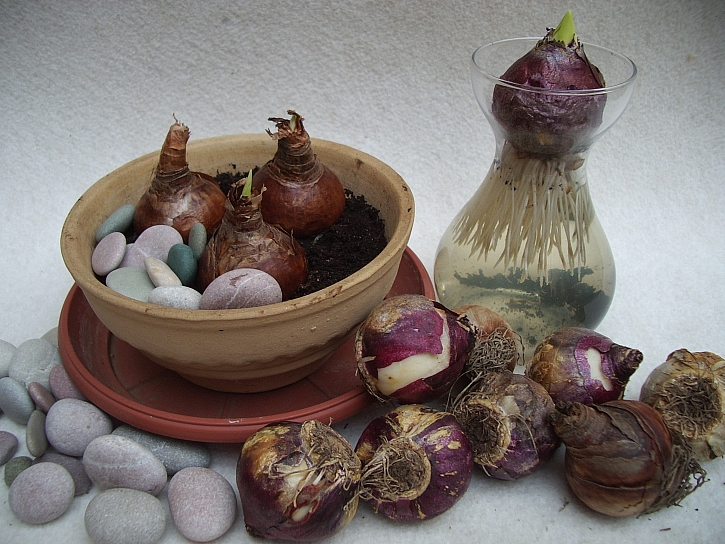 Výsadba narcisů do misky