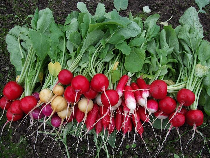 Ředkvičky patří mezi první jarní zeleninu se spoustou vitamínů (Zdroj: Ludmila Dušková)