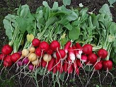 Mezi první jarní zeleninu patří ředkvičky