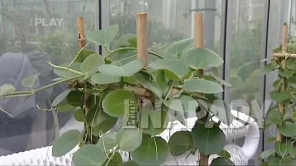 Vyvazování pnoucích rostlin