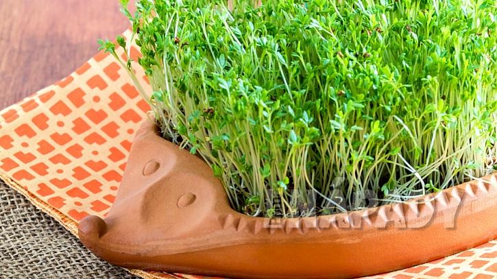 Řeřicha zahradní (Lepidium sativum): obsahuje velké množství vitaminu C, který nám chybí hlavně v zimním období