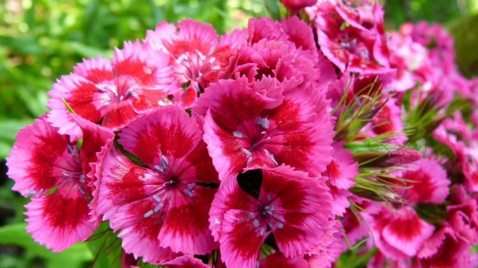 Jak pěstovat hvozdík bradatý: Zpestřete si zahrádku veselými květy
