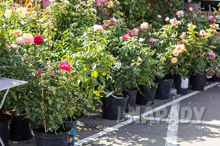 výběr sazenice růží