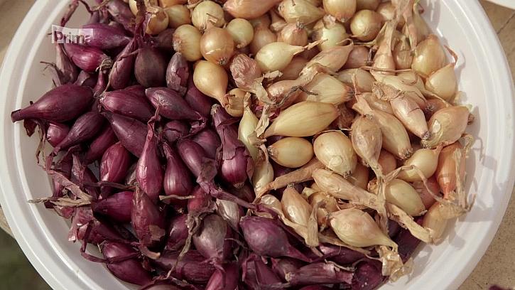 Pěstování cibule