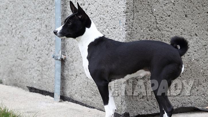 Pes baseji loví všechno, co je v pohybu -  slepice, cyklisty i auta