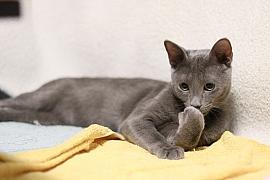 Ruská modrá kočka: Dobrosrdečná kočka svyrovnanou povahou