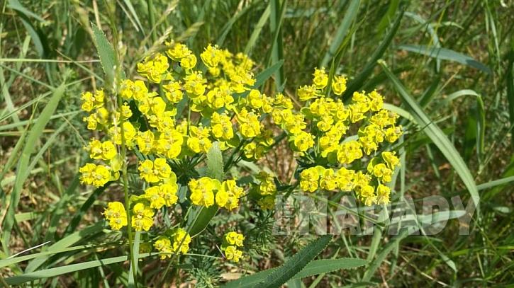 Pryšec obecný (Euphorbia esula)
