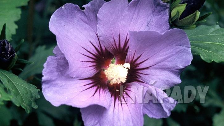 Ibišek syrský (Hibiscus syriacus) kultivar 'Marina'