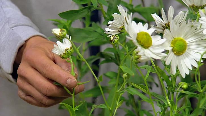 Bílá chryzantéma