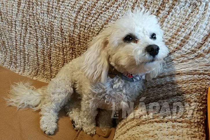 Boloňský psík umí být i gaučovým povalečem