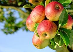 Lahodný domácí jablečný mošt si může připravit každý z nás