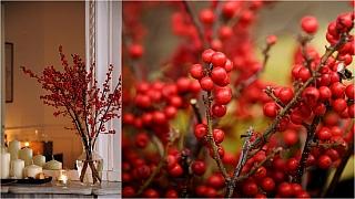 Cesmína přeslenitá: Keř, který oceníte při tvorbě vánočních dekorací