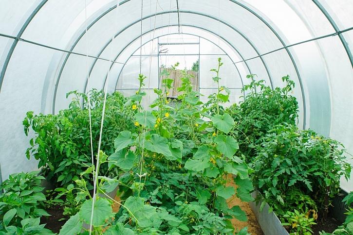 Ve skleníku si vypěstujete vlastní okurky i rajčata