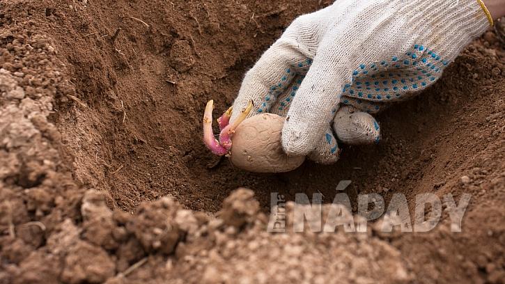 Pěstování brambor: naklíčené hlízy sázejte přibližně 10 cm hluboko