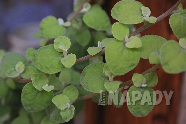 Rýmovník je okrasný listem a pěstovat jej můžeme po mnoha let