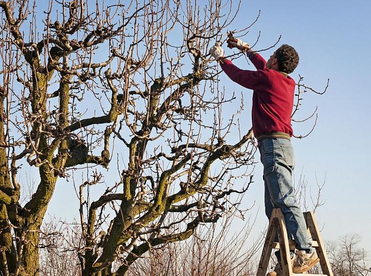 Prořezávání ovocných stromů je zodpovědná činnost