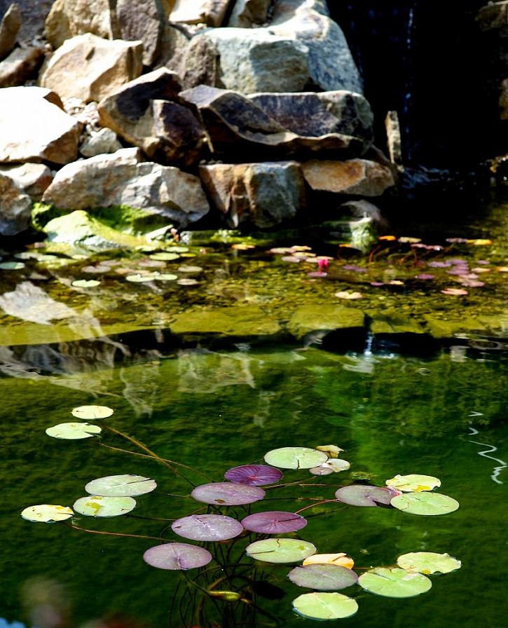 Pěstovat v rámci skalky i vodní rostliny není nemožné, budování vodní plochy však doporučuji až po získání prvních skalničkářských zkušeností.