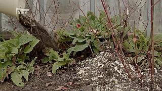 Zazimování borůvek, kompostování v zimě
