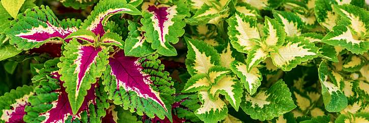 Africká kopřiva je okrasná rostlina, která pomůže i při hubnutí (Zdroj: Depositphotos (https://cz.depositphotos.com))