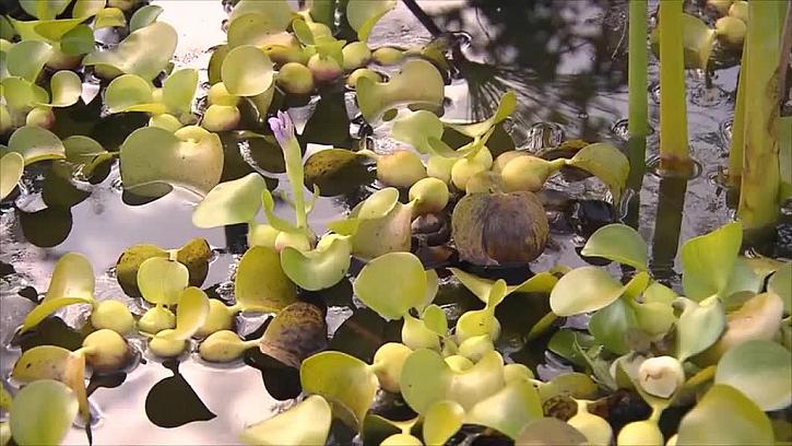 Drobné vodní rostliny