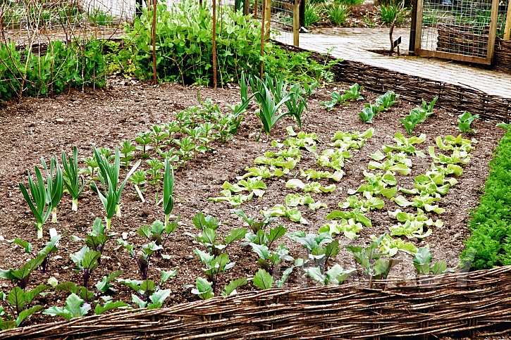 Ozimé odrůdy vyséváme na záhony v létě (Zdroj: Depostiphotos.com)