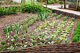 Ještě v srpnu je dost času na výsevy některých druhů zeleniny