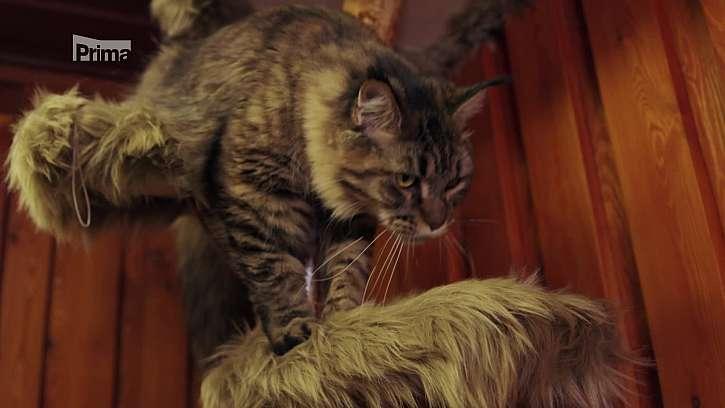 Chov mainské mývalí kočky