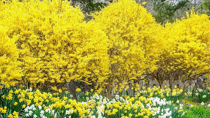 Víte, že zlatice není zlatý déšť, i když se jí tak běžně říká?